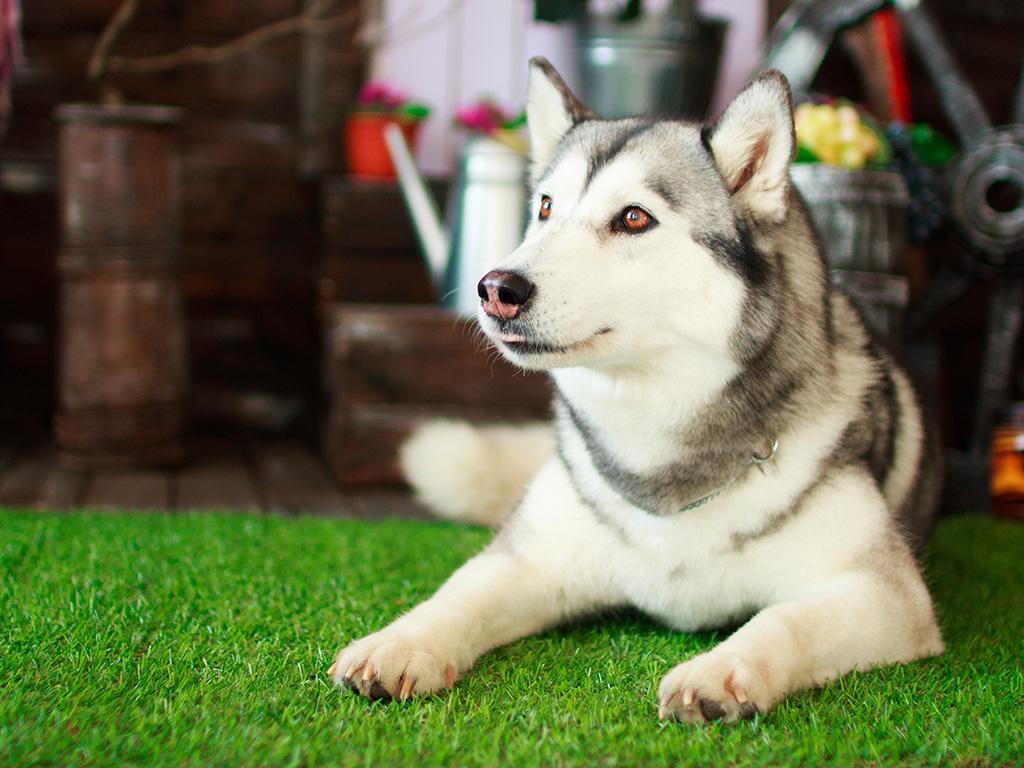 Husky Siberiano: saiba tudo sobre a raça - Blog DogHero