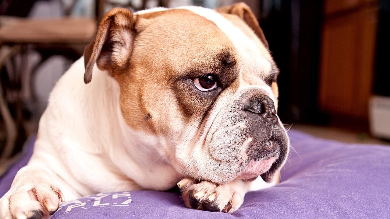 Buldogue Inglês: saiba tudo sobre a raça - Blog DogHero