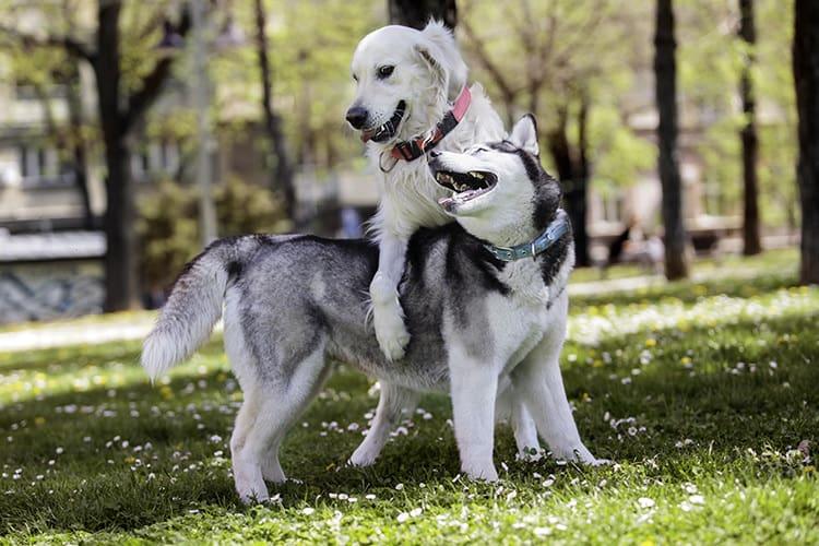 cruzamento-de-cachorro-1