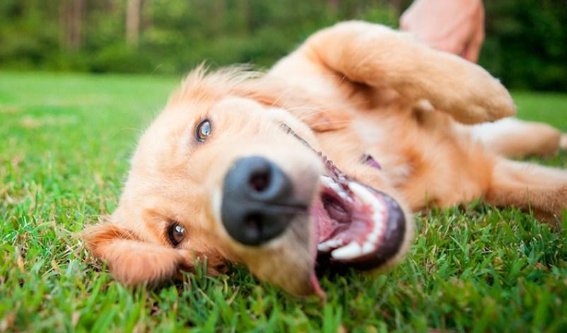 ¿Por qué los perros comen pasto?