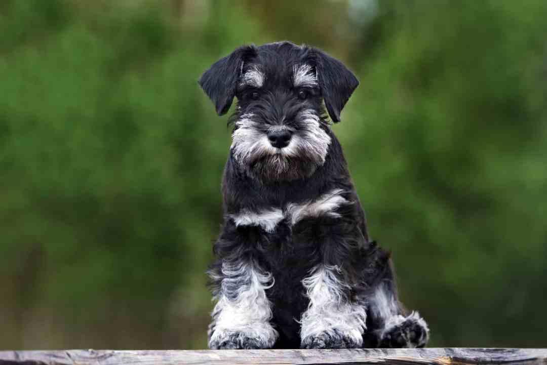 Por ter muita energia, esse cachorro exige um tutor com pique para acompanhá-lo