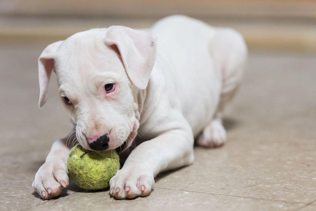 Apesar da cara de mau, a personalidade do dogo argentino é doce e amigável