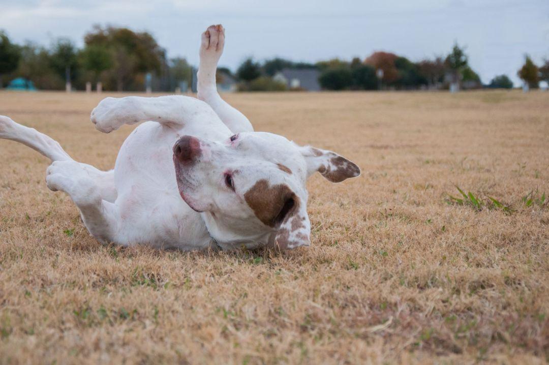 Esse cachorro é muito ativo e precisa de estímulo e exercícios