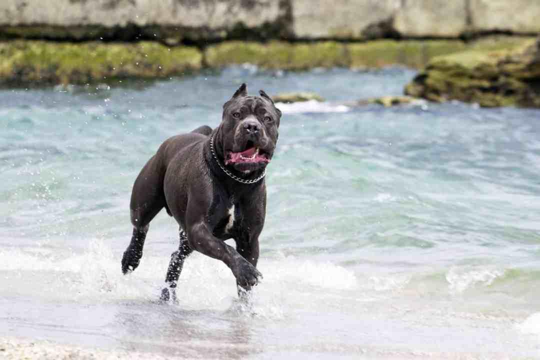 O cane corso adora carinho e retribui em dobro o amor que recebe