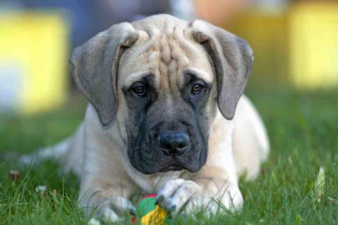 O mastiff é conhecido por sua valentia e coragem