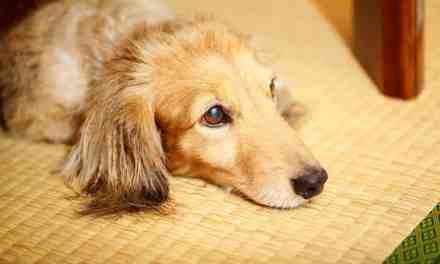 Sangue nas fezes do cachorro: o que fazer?