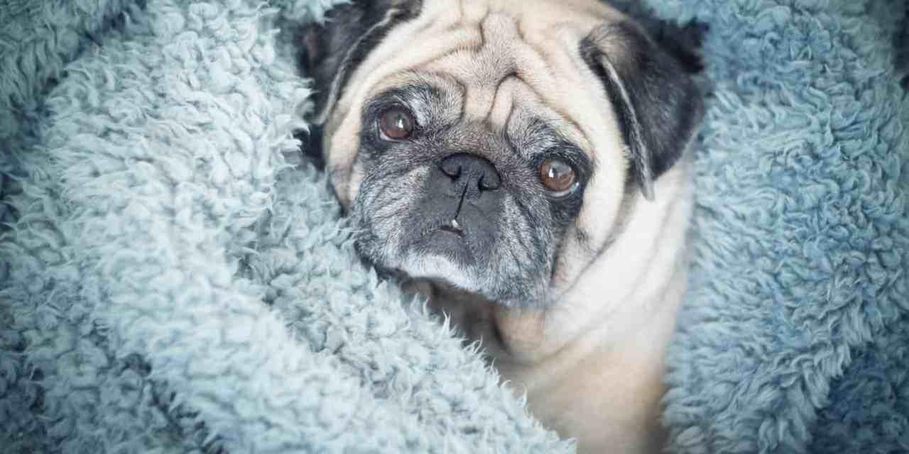 Cachorro com tosse: o que fazer?