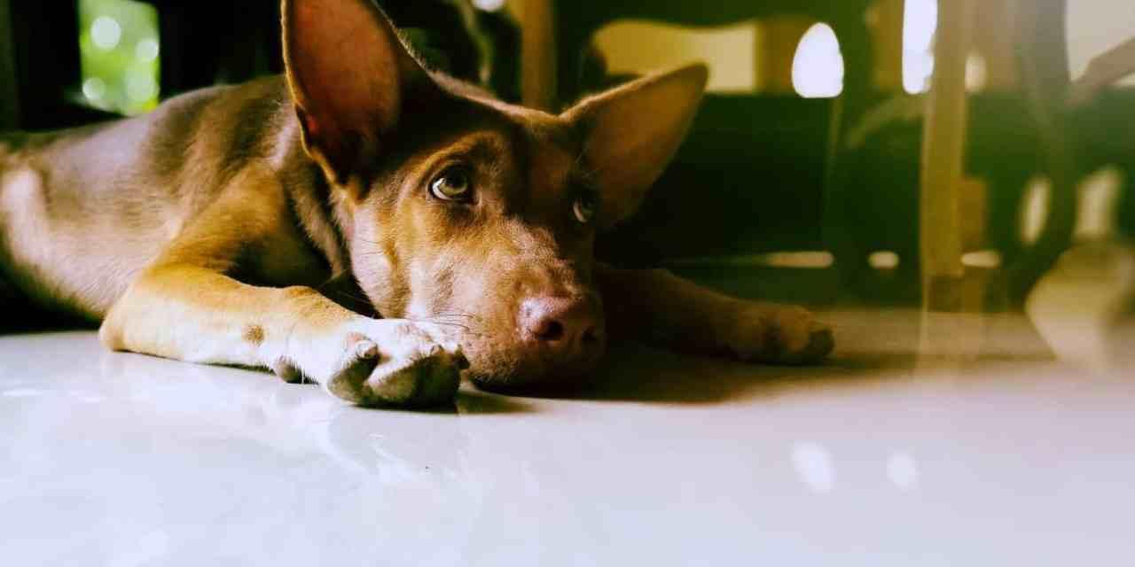 Cachorro vomitando verde: o que fazer?