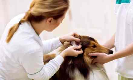 Otite canina: o que é, sintomas e tratamento