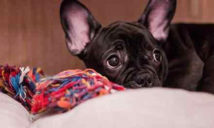 Berne em cachorro: o que é, sintomas e tratamento