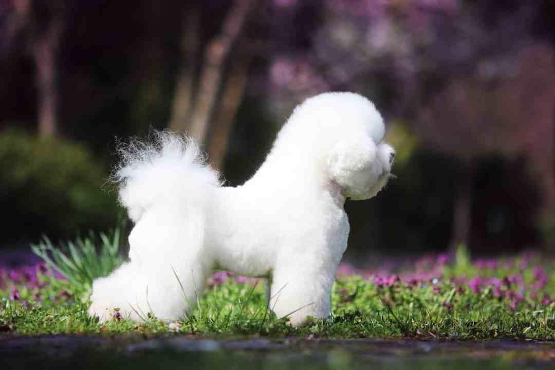 Com seu pelo branco e macio, o bichon frise encanta pela aparência