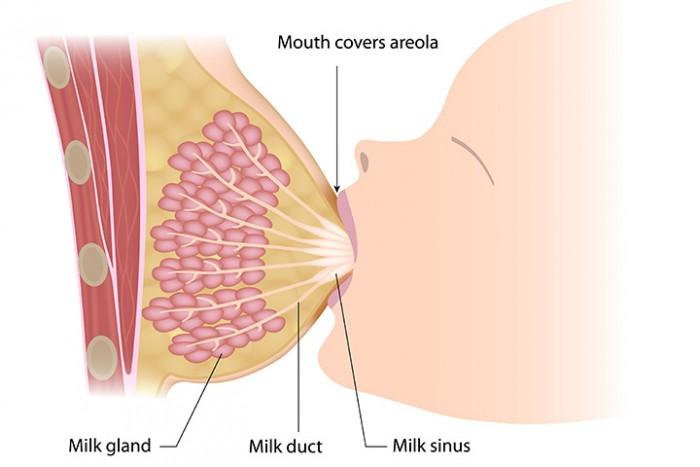 Preparing for Breastfeeding