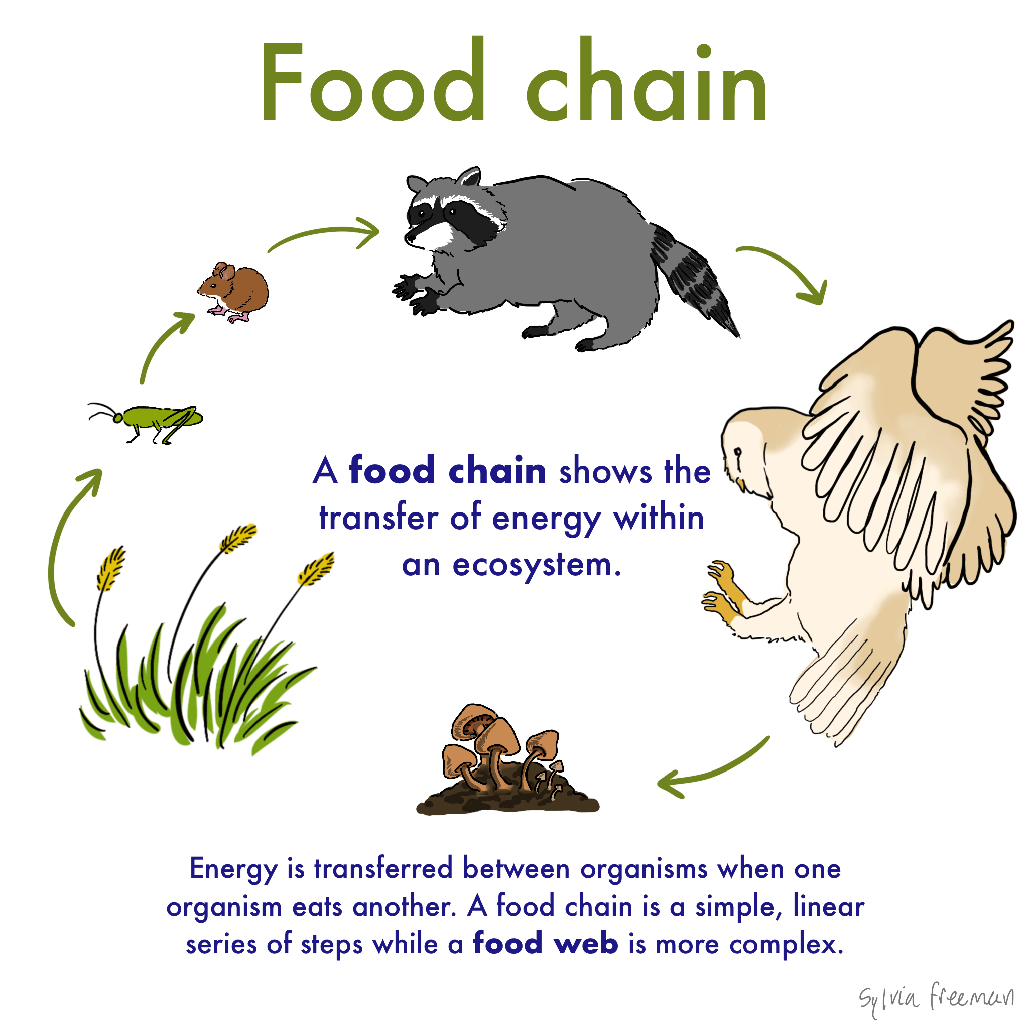 Food Chain Definition Amp Examples