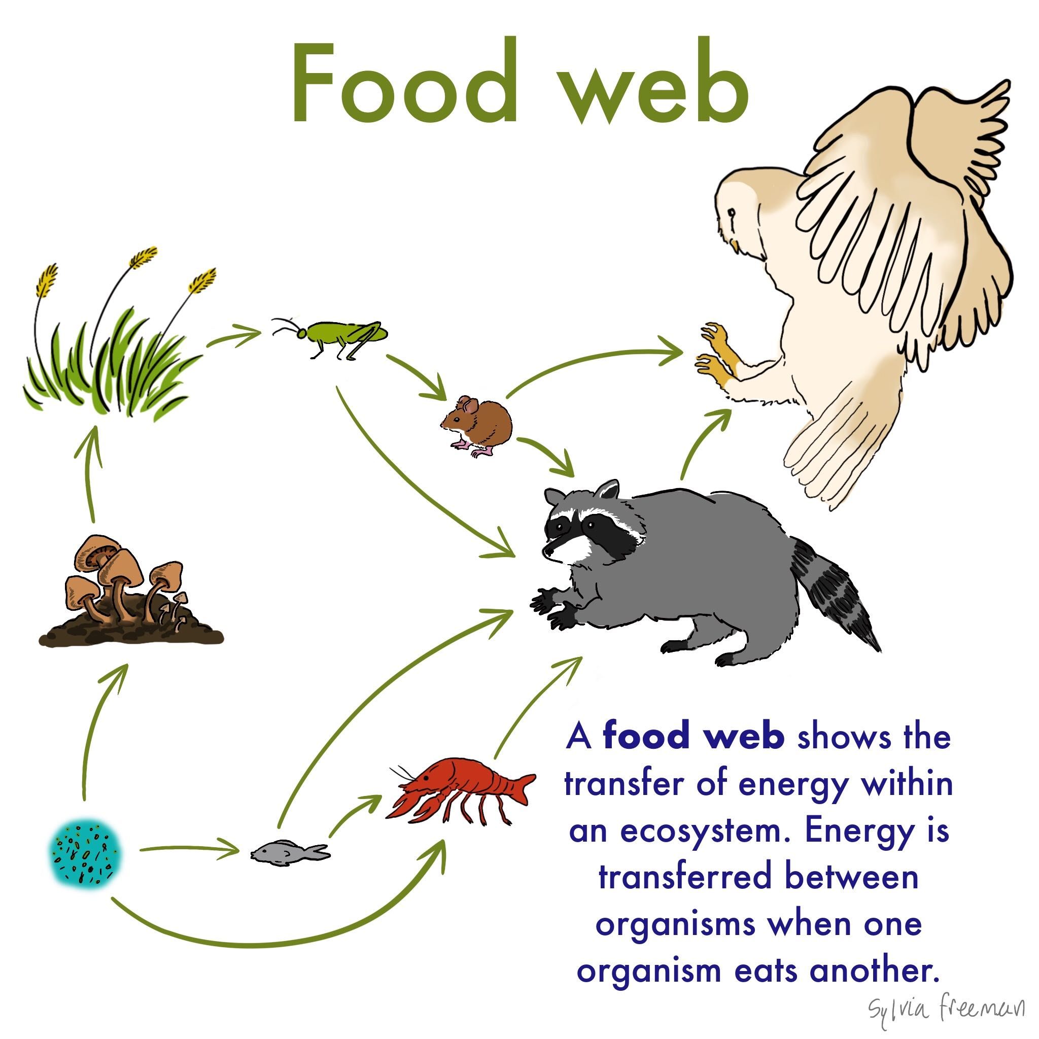 Food Web Definition Amp Examples