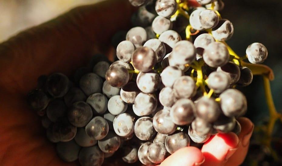 Bunch of McLaren Vale Grenache Grapes