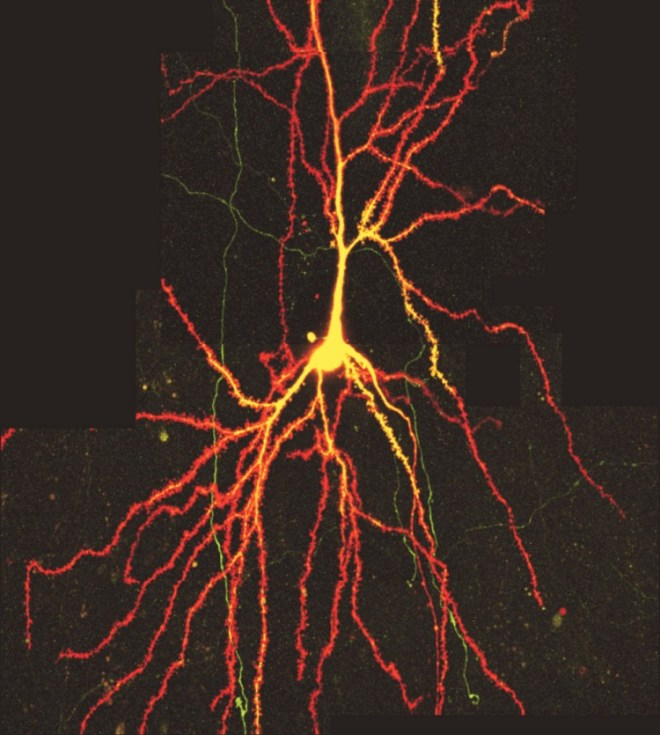 Two-photon microscopy image of a neuron published in PNAS by Holbro N et al. (2009)