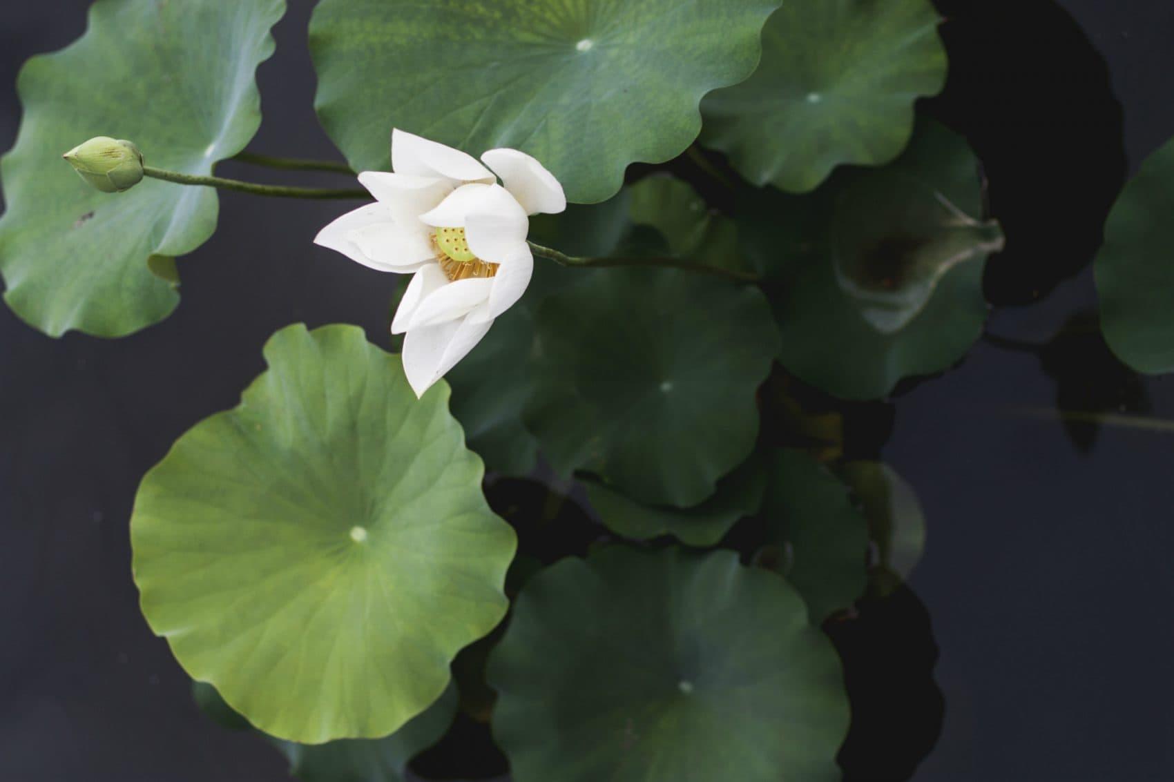 Water Lilies Near Me