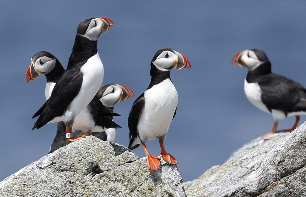 In this Aug. 1, 2014, file photo, Atlantic puffins congregate near their burrows on Eastern Egg Rock, a small island off the coast of Maine. (Robert F. Bukaty/AP)