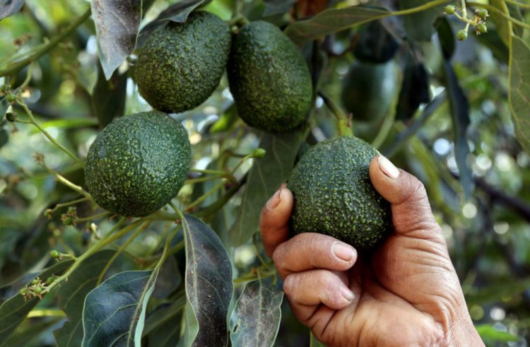 Mexican drug cartels have gotten into the lucrative avocado business in Michoacan Province, where most of the avocados imported into the U.S are grown. (Jose Castanares/AFP/Getty Images)
