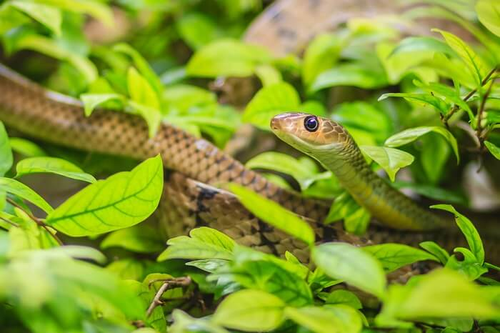 snakes in maldives