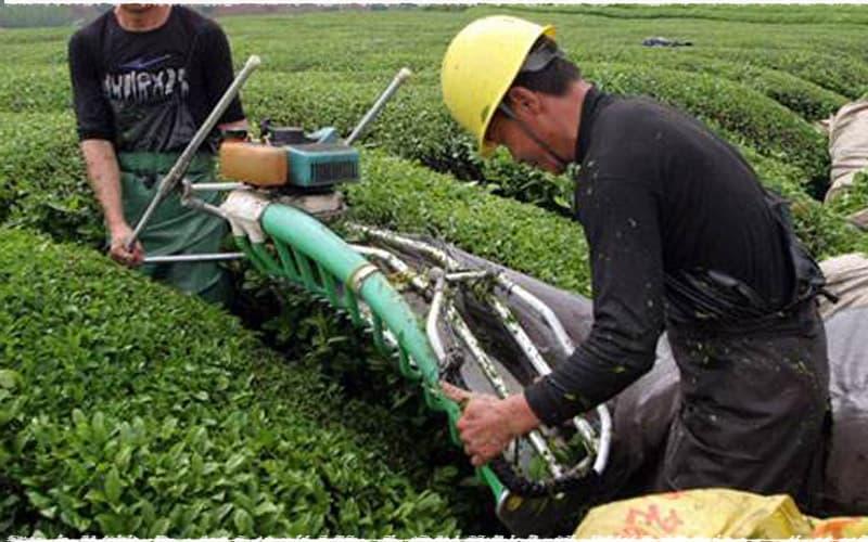 Les méthodes pour cueillir du thé 3