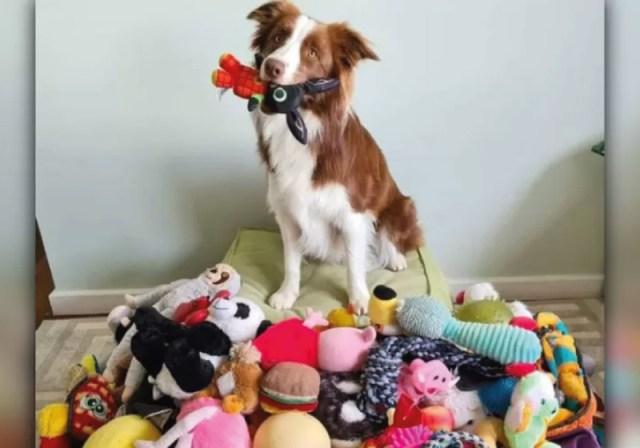 Gaia é um cão brasileiro superdotado que consegue memorizar nomes de brinquedos em tempo recorde - Foto: arquivo pessoal