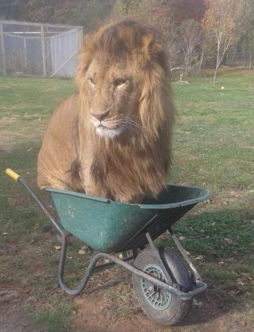 Fun With Pets Lion In A Wheelbarrow Funny Faxo