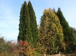 Abendländischer Lebensbaum 'Holmstrup', 40-60 cm, Thuja occidentalis 'Holmstrup', Containerware