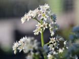 Ahornblatt, Mukdenia rossii, Topfware