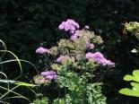 Akeleiblättrige Wiesenraute 'Black Stockings', Thalictrum aquilegifolium 'Black Stockings', Topfware