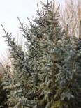 Alcocks Fichte, 30-40 cm, Picea bicolor, Containerware