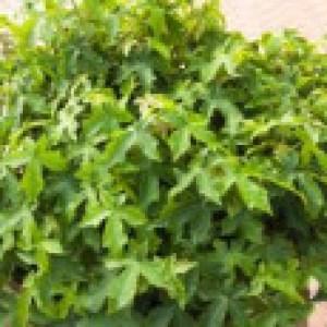 Amberbaum 'Gumball', Stamm 40 cm, 50-60 cm, Liquidambar styraciflua 'Gumball', Stämmchen