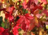 Amerikanische Amberbaum 'Slender Silhouette', 100-125 cm, Liquidambar styraciflua 'Slender Silhouette', Containerware