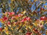 Amerikanischer Blumen-Hartriegel 'Cherokee Sunset', 40-60 cm, Cornus florida 'Cherokee Sunset', Containerware