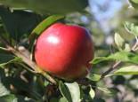 Apfel 'Ecolette', Stamm 40-60 cm, 120-160 cm, Malus 'Ecolette', Containerware