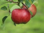 Apfel 'Florina' ® / 'Querina', Stamm 40-60 cm, 120-160 cm, Malus 'Florina' ® / 'Querina', Wurzelware