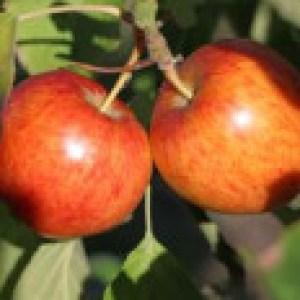Apfel 'Geheimrat Dr. Oldenburg', Stamm 40-60 cm, 120-160 cm, Malus 'Geheimrat Dr. Oldenburg', Wurzelware