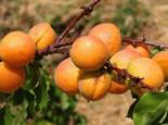 Aprikose 'Ungarische Beste', Stamm 40-60 cm, 80-100 cm, Prunus armeniaca 'Ungarische Beste', Wurzelware