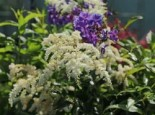 Arends Prachtspiere 'Astary White' ®, Astilbe x arendsii 'Astary White' ®, Topfware