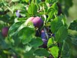 Reneklode 'Graf Althans Reneklode', Stamm 40-60 cm, 120-160 cm, Prunus domestica 'Graf Althans Reneklode', Wurzelware