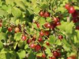 Stachelbeere 'Redeva' rot, Stamm 80-90 cm, 110-130 cm, Ribes uva-crispa 'Redeva' rot, Stämmchen