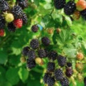Brombeere 'Navaho' ®, 40-60 cm, Rubus fruticosus 'Navaho' ®, Containerware