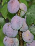 Säulenpflaume 'Imperial', 50-60 cm, Prunus domestica 'Imperial', Containerware