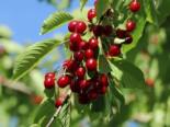 Sauerkirsche 'Saphir' (S), Stamm 40-60 cm, 120-160 cm, Prunus cerasus 'Saphir' (S), Wurzelware