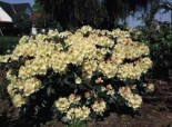 Rhododendron 'Flava' ®, 30-40 cm, Rhododendron yakushimanum 'Flava' ®, Containerware