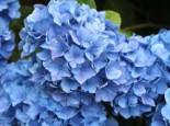 Ballhortensie 'Mathilde Gütges' (blau), 30-40 cm, Hydrangea macrophylla 'Mathilde Gütges' (blau), Containerware