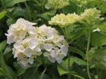 Ballhortensie 'Madame E. Moulliere', 30-40 cm, Hydrangea macrophylla 'Madame E. Moulliere', Containerware
