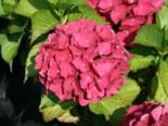 Ballhortensie 'Red Baron', 30-40 cm, Hydrangea macrophylla 'Red Baron', Containerware