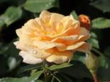 Beetrose 'Sweet Honey' ®, Rosa 'Sweet Honey' ® ADR-Rose, Wurzelware