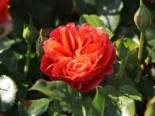 Beetrose 'Theodor Fontane Rose' ®, Rosa 'Theodor Fontane Rose' ®, Containerware